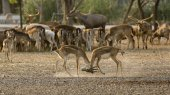 2 deer (or chital) play together — Stock Photo