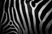 Skórę zebry — Zdjęcie stockowe