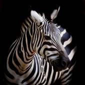 A Headshot of a Burchell's Zebra — Stock Photo