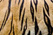 Colorful detail of tiger pelt — Stock Photo