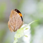 Indian Leaf Butterfly exactly same like a dried leaf — Stock Photo