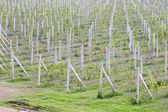 Green vineyards in Thailand, Grape farm — Stock Photo