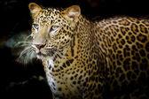 Portrait de léopard — Photo