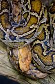 Close-up photo of burmese python (Python molurus bivittatus) — Stock Photo