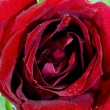Close-up view of beatiful dark red rose — Stock Photo #66456569