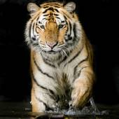 Portrait of Tiger — Stock Photo