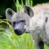 Hyena background — Stock Photo