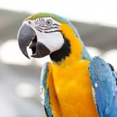 Blue-and-Yellow Macaw (Ara ararauna), also known as the Blue-and — Stock Photo