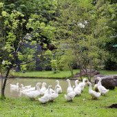 A flock of ducks and geese in a park — Stock Photo