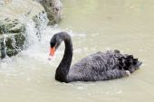 A black swan swimming on a pool of blue water. Cygnus — Stock Photo