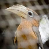 Brown hornbill, Rusty-cheeked hornbill (Anorrhinus tickelli) — Stock Photo