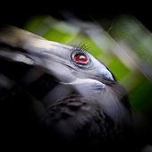 Bushy-Crested Hornbill, closeup in the zoo — Stock Photo