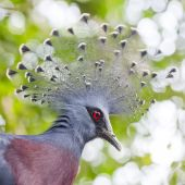 Victoria Crowned Pigeon (Goura victoria) close up — Stock Photo