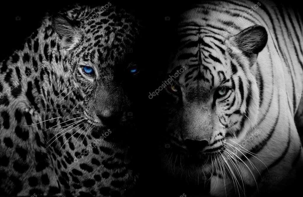 leopard noir blanc aux yeux bleus tiger isoler backg noir photo 80558328. Black Bedroom Furniture Sets. Home Design Ideas