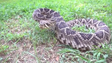 Eastern Diamondback Rattlesnake — Stock Video