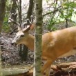 Whitetail deer mature buck — Stock Video #61756031
