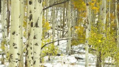 Aspen forest during snowstorm — Stock Video