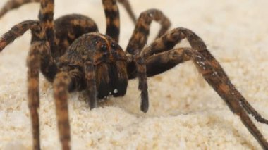 Wolf spider on sand — Stock Video