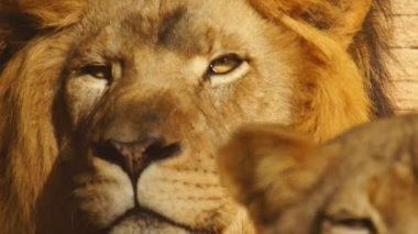 African Lion and lioness — Stock Video