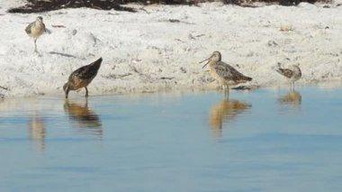 Shorebirds in Florida — Stock Video