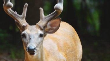 Whitetail deer mature buck — Stock Video