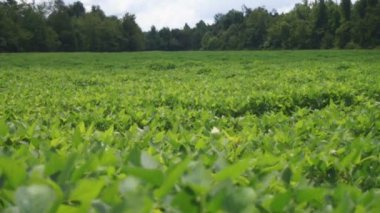 Soybeans field — Stock Video