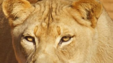 African lioness close up — Stock Video