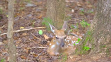 Fawn Whitetail Deer hiding in forest — Stock Video