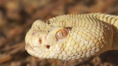 Rattlesnake crawling — Stock Video