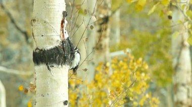 Downy Woodpecker on Aspen tree — Stock Video