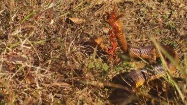 Cape Cobra is highly venomous — Stock Video