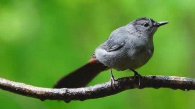 Gray Catbird during rain — Stock Video