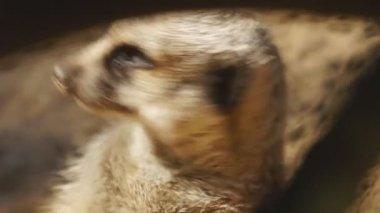 Meerkat or Suricate — Stock Video