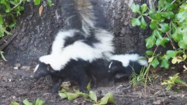 Striped Skunks in Georgia — Stock Video