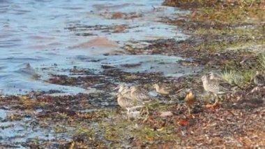 Shorebirds in Florida Keys — Stock Video
