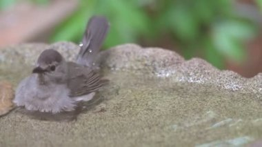 Gray Catbird bathing in a birdbath — Stock Video