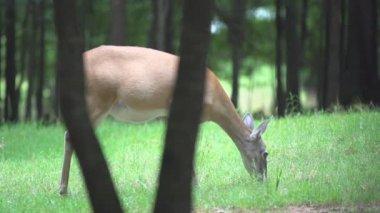 Whitetail Deer — Stock Video
