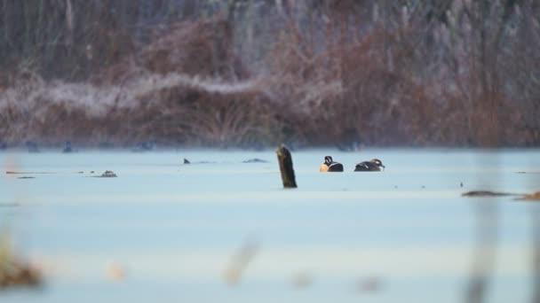Patos en el lago — Vídeo de stock