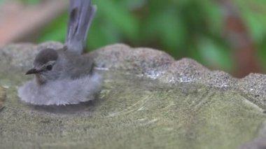 Gray Catbird bathing in a birdbath — Stock Video