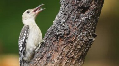 Red-bellied Woodpecker baby — Stock Video