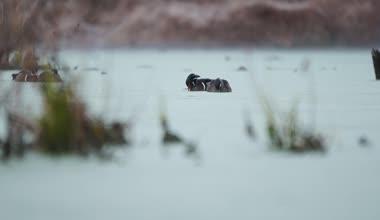 Ducks on lake — Stock Video