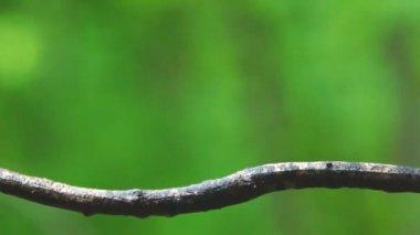 Carolina Wren is small songbird — Vídeo de stock