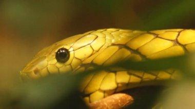 Green Mamba is highly venomous snake — Stock Video