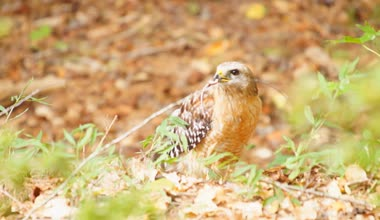 Red-shouldered Hawk eating worm — Stock Video