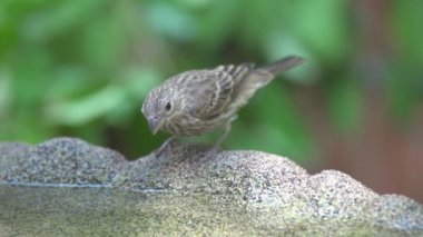 House Finch drinking water — Stock Video