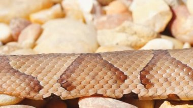 Venomous Copperhead Snake — Stock Video