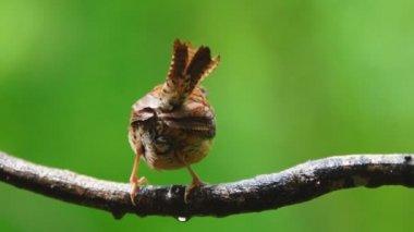 Carolina Wren is small songbird — Stock Video