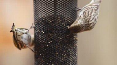 Pine Siskin is North American bird — Stock Video