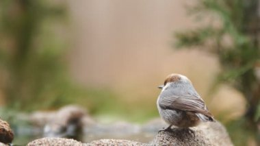 The Brown-headed Nuthatch — Stock Video