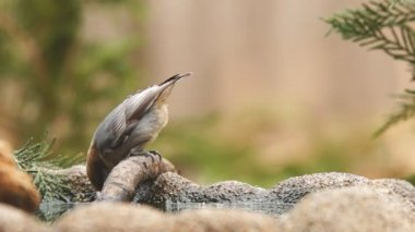 The Brown-headed Nuthatch drinking water — Stock Video